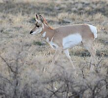 Pronghorn in Yellowstone National Park by DWMMPhotography