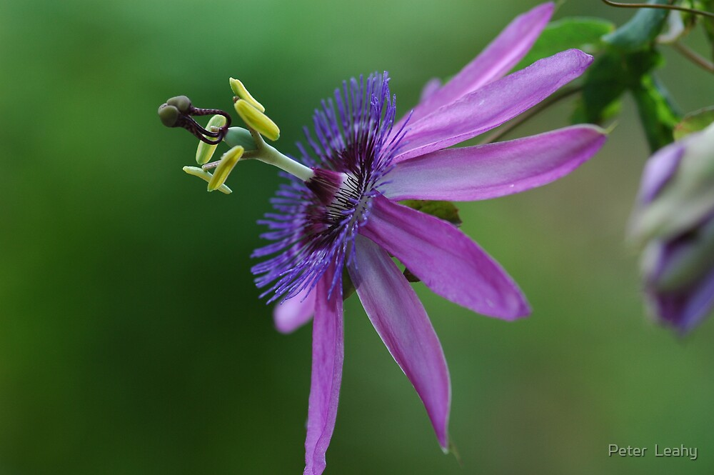 Purple Passiflora/Passion Vine  by Peter  Leahy