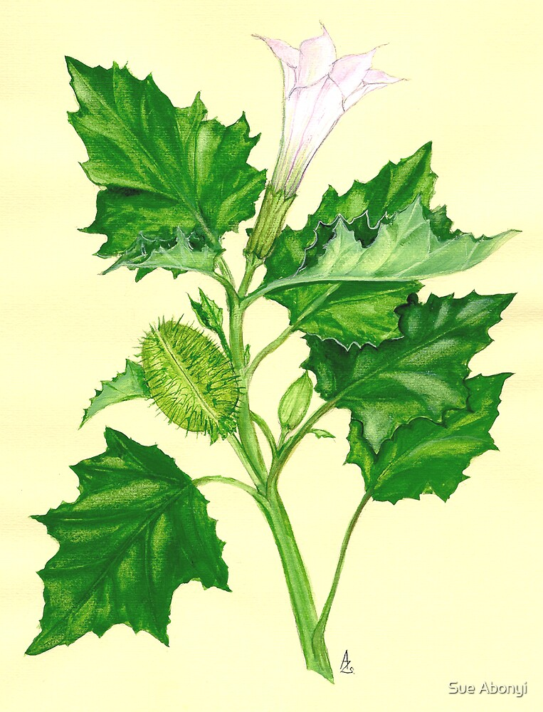 Moon Flower - Datura stramonium by Sue Abonyi