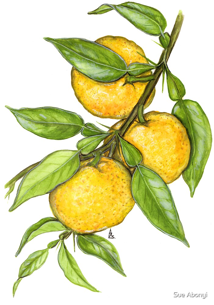 Yuzu - Citrus junos by Sue Abonyi