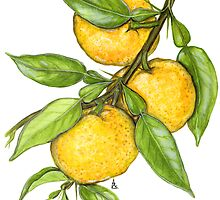 Yuzu - Citrus junos by Sue Abonyi