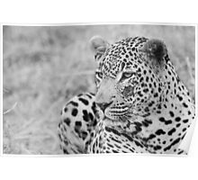 Male Leopard side glance black and white Poster