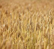 Wheat Field by AbigailJoy