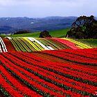 photoj-Tasmani, Table Cape Tulip Farm by photoj