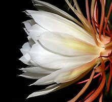 Cereus Profile by Bonnie T.  Barry