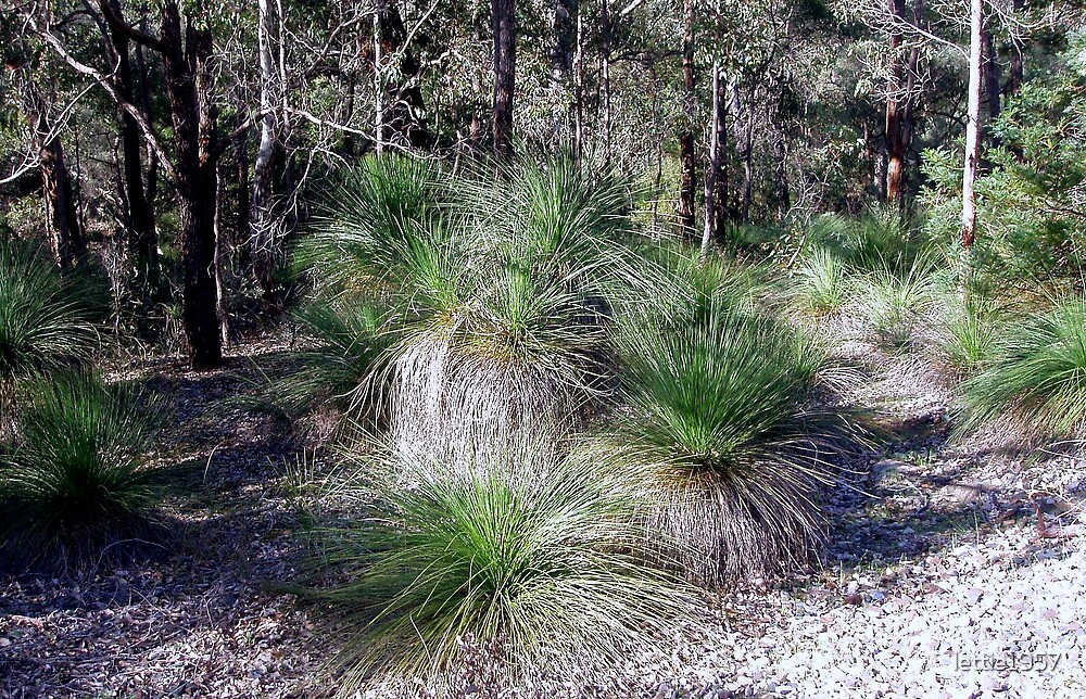 Grass Trees and Gum trees  by lettie1957