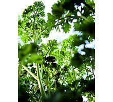 Parsley Canopy Photographic Print