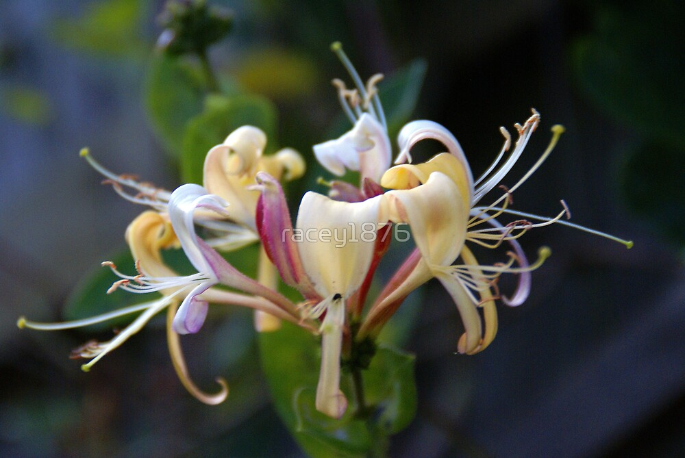Honeysuckle by racey1876