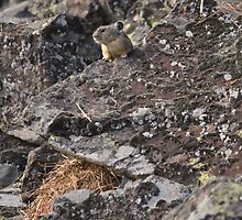American Pika in Hyalite Canyon by DWMMPhotography