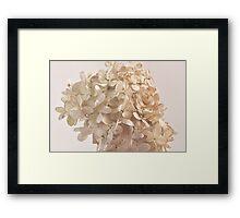 Creamy Hydrangea Blossoms Framed Print