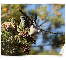 Clark's Nutcracker at Mammoth Hot Springs Poster
