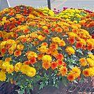 Beautiful Fall Chrysanthemums  by kkphoto1