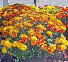 Beautiful Fall Chrysanthemums  by kkphoto1
