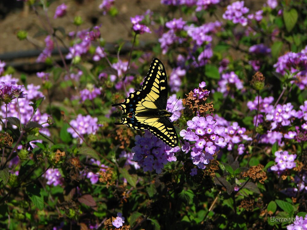 Yellow Swallowtail 1 by Berreitter