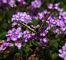 Yellow Swallowtail 2 by Berreitter
