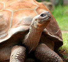 Galapagos Tortoise by Martin Pot