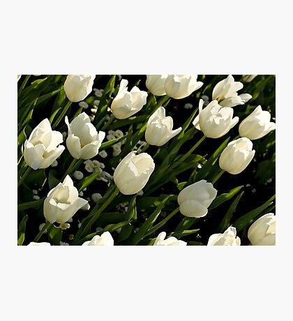 White tulips Photographic Print