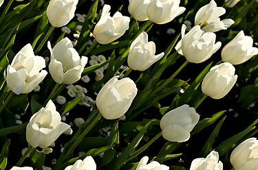 White tulips by Gayle Shaw