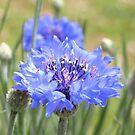 cornflower blue III by Floralynne