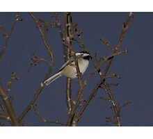 Chickadee dee dee Photographic Print