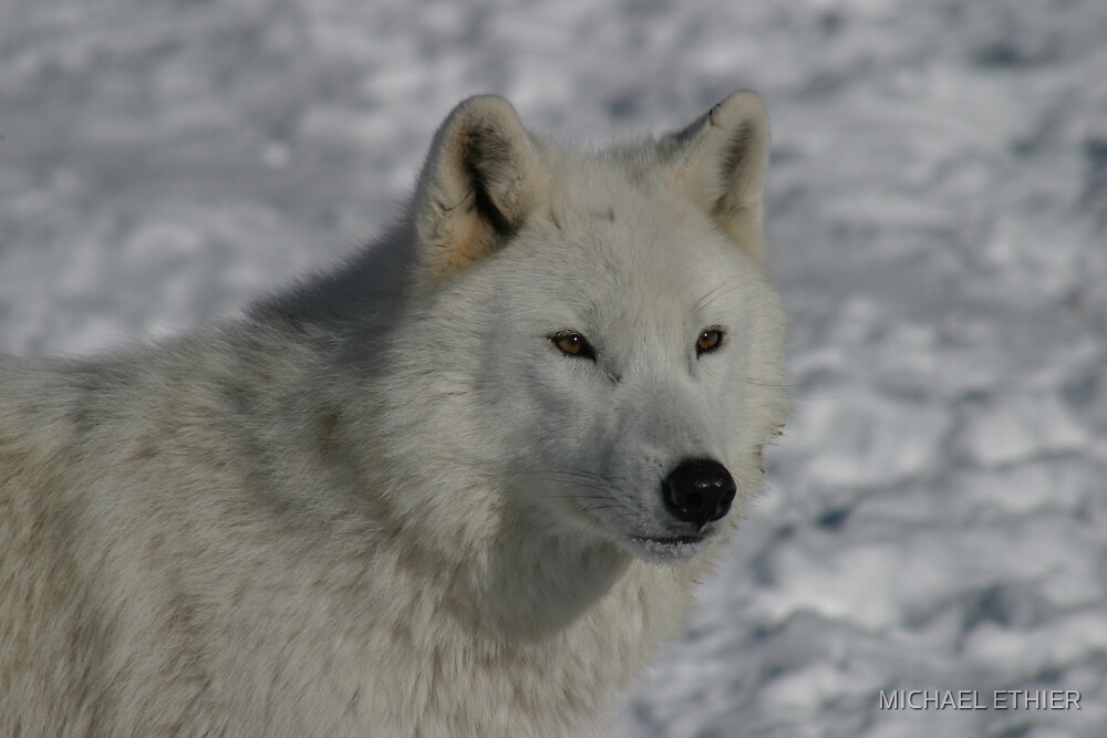 ARTIC WOLF by MICHAEL ETHIER