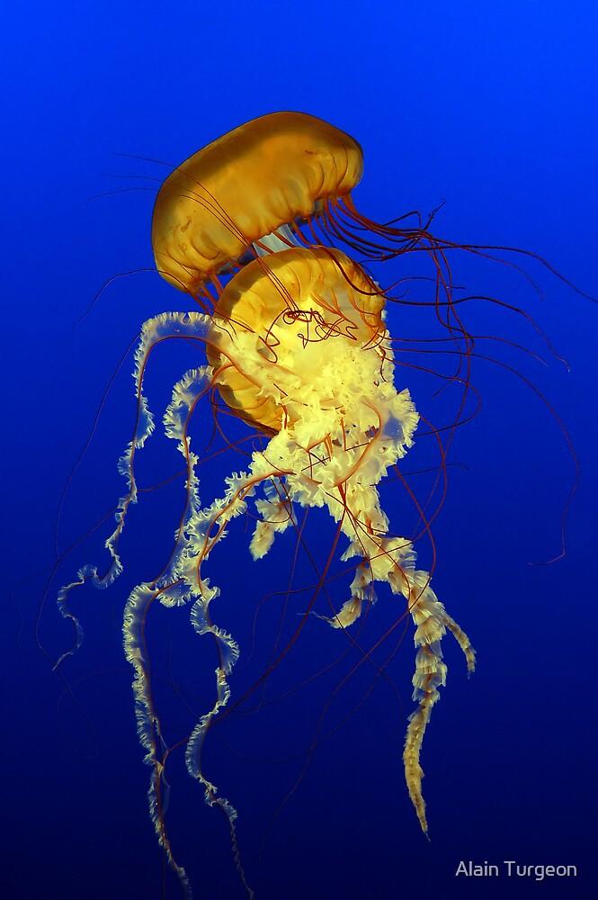 Sea Nettles (Chrysaora quinquecirrha) by Alain Turgeon