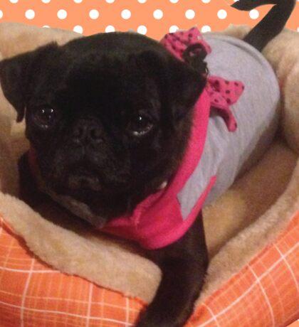 Pug and Polkadots-Love Pug Sticker