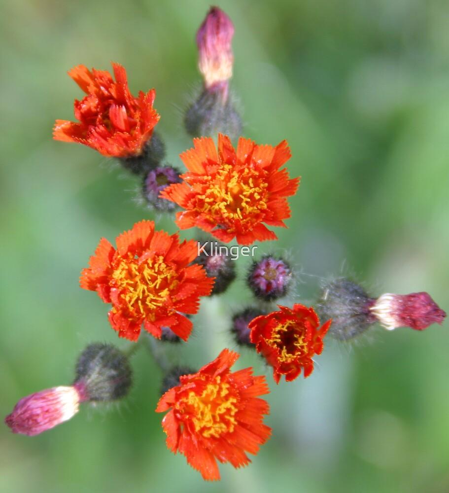 Orange Hawkweed by Klinger
