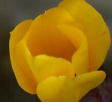 Tulip 01 by PolarBear
