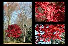 Red Maple Autumn by WalnutHill