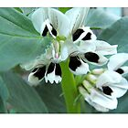 broadbean flowers by Northcote Community  Gardens