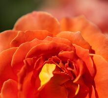 bright red fame rose, flower photography by SammyPhoto