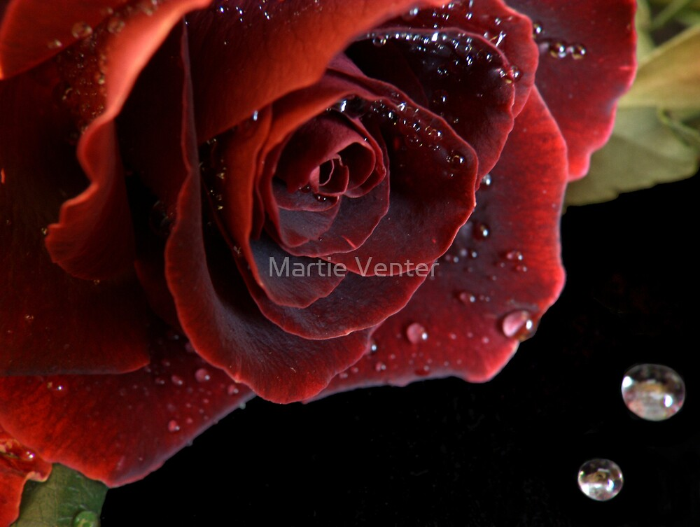 Red Rose with Waterdrops by Martie Venter