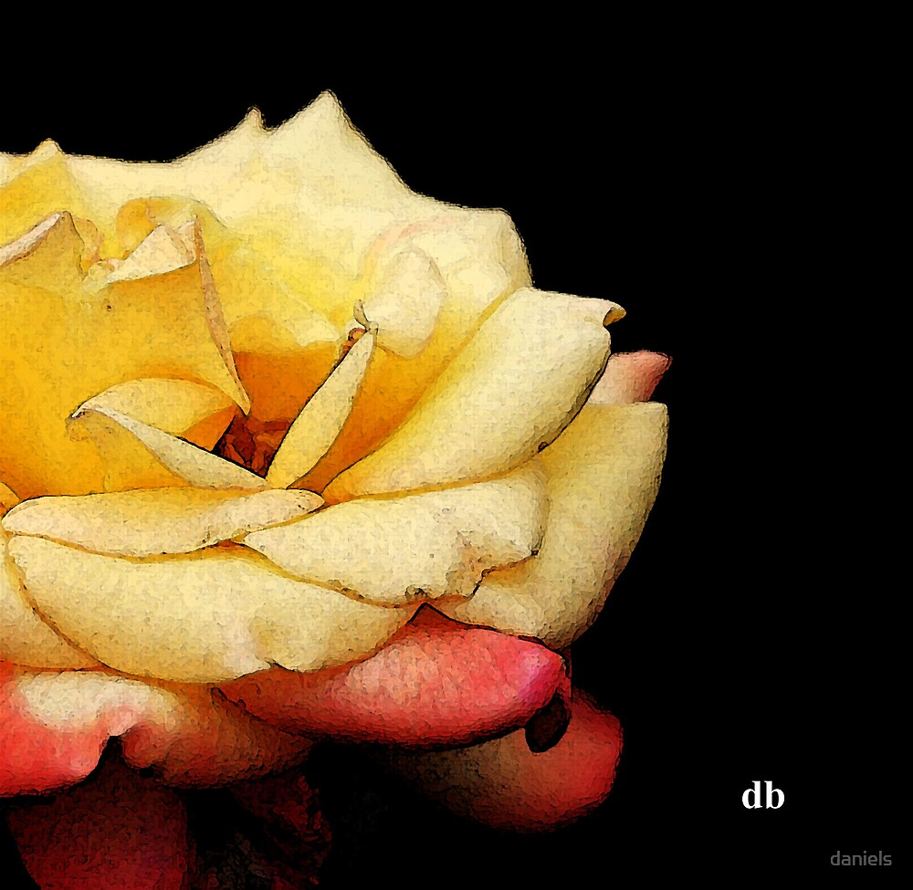 a rose by daniels