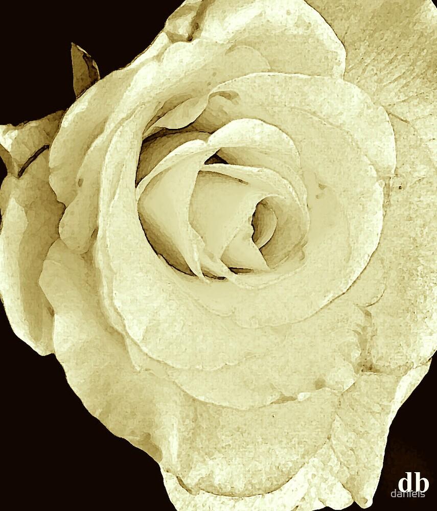 rose_3 by daniels