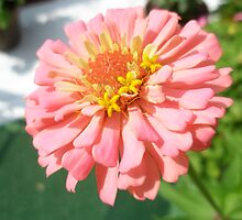 lucky zinnia by rosebudz