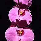 Three Orchids  by heatherfriedman