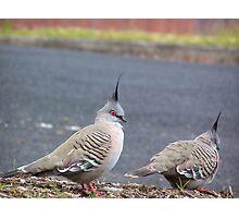 Australian Crested Pigeon Photographic Print