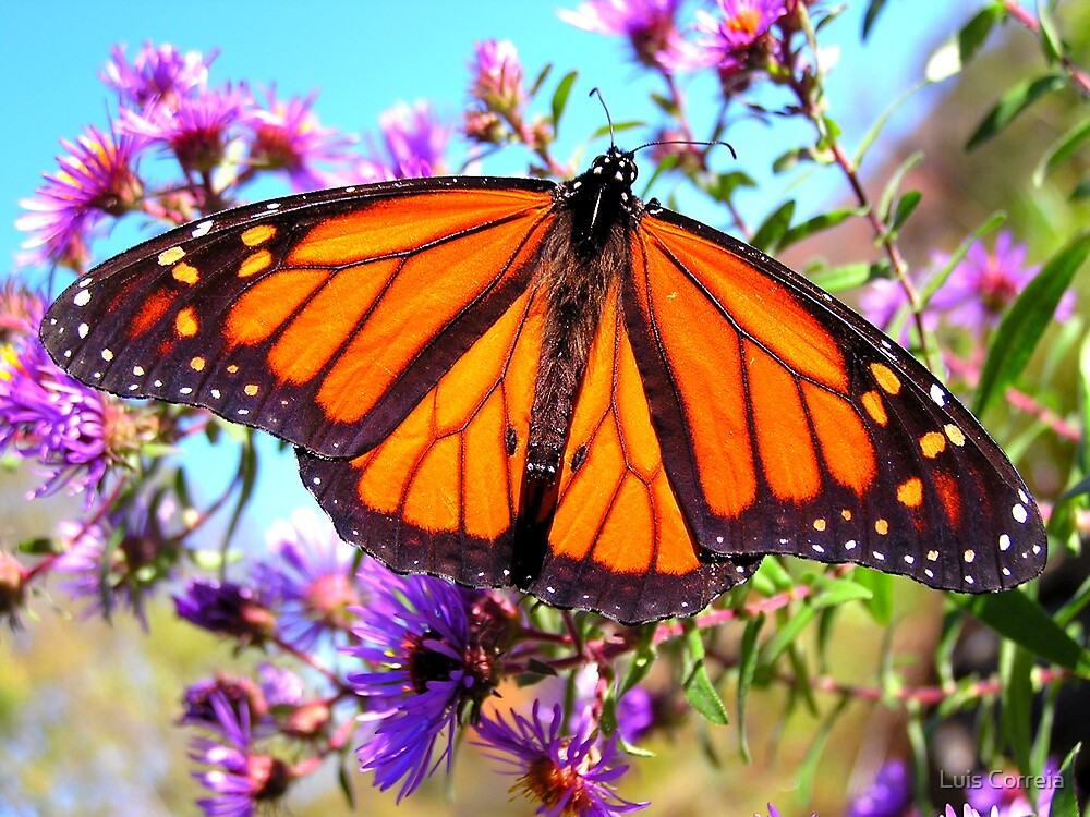 Monarch Butterfly by Luis Correia