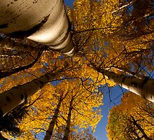 Autumn Aspens by Nick Johnson