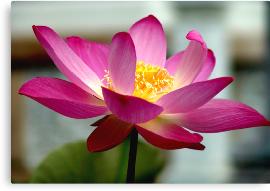 Pink Lotus by Dave Lloyd
