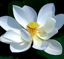 White Lotus by Dave Lloyd