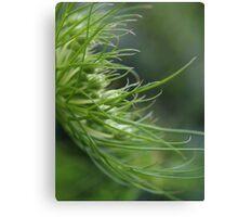 fennel plant Canvas Print