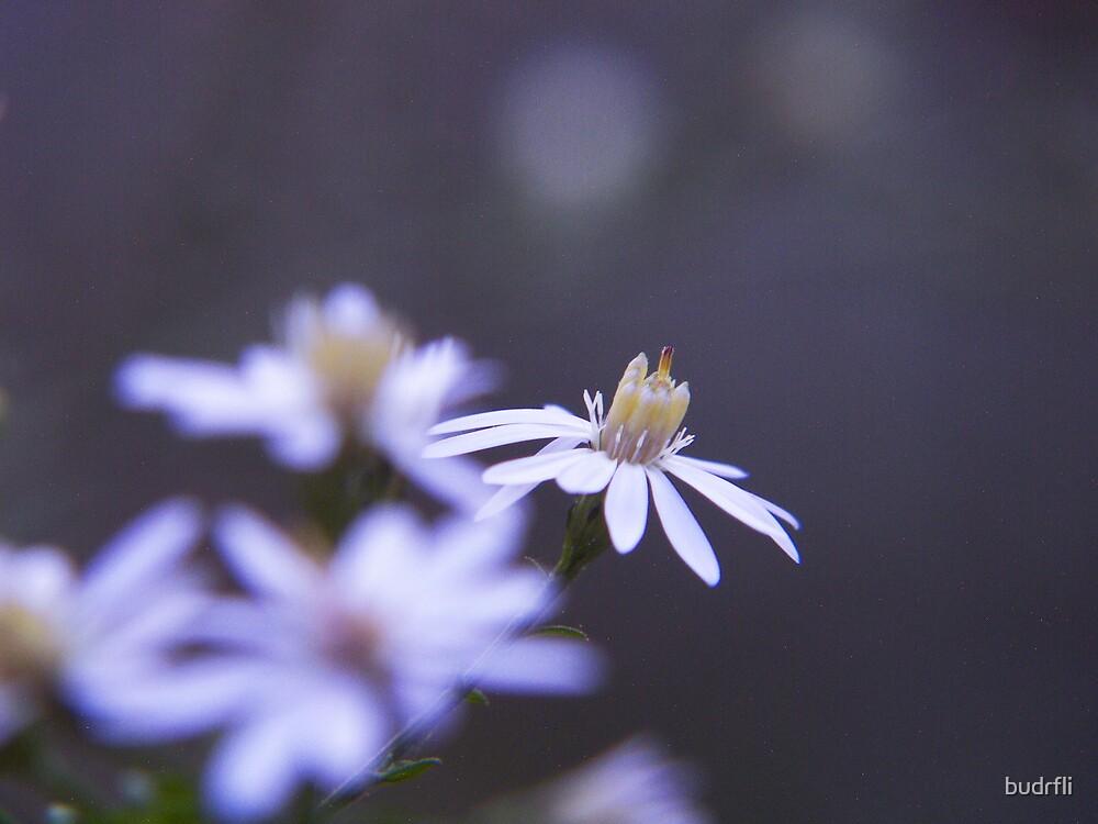 daisy dance by budrfli