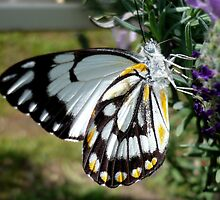 """BUTTERFLIES GIVE LAVENDER BLUE THE """"THUMBS UP"""" by EricKyle"""