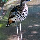 Bush stone-curlew by indiafrank