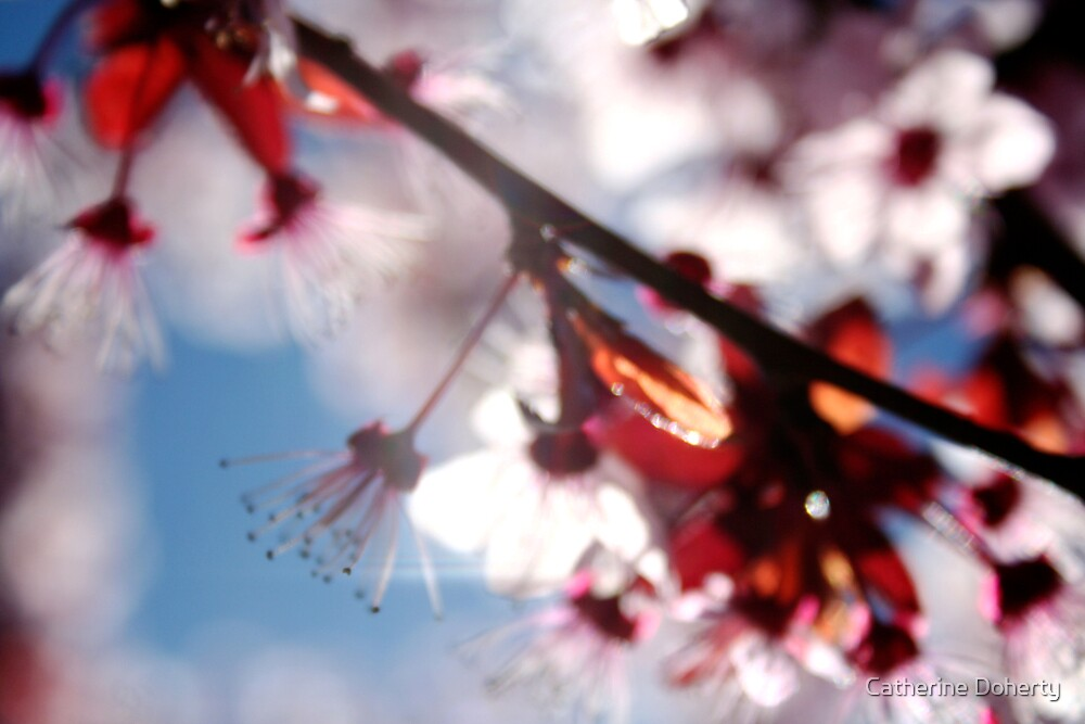 Cherry Blossom. by Catherine Doherty