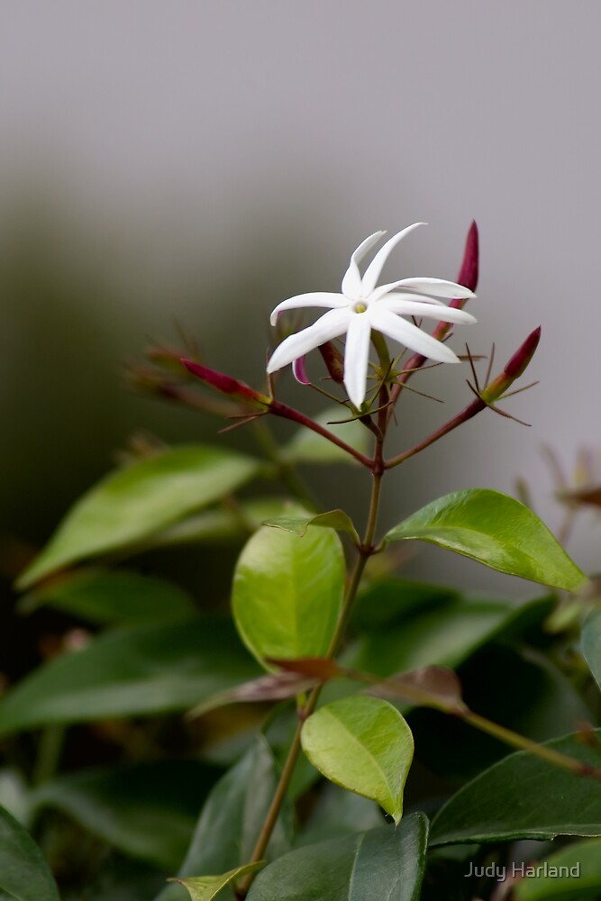Jasmine by J Harland
