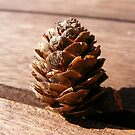 Pine Cone From Bonsai tree by Sam Cooper