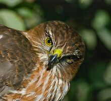 Sharp Shinned Hawk (juvenile) by Leisa  Hennessy